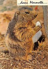 Br43914 Marmotte marmot animaux animals