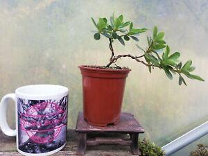 Beautiful Satsuki Azalea rhodedendon Bonsai starter plant Flowering