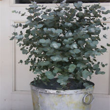 30Pcs-Eucalyptus-Tree-Seeds-Aromatherapy-Citriodora-Lemon-Gum-Tree-House-Plants