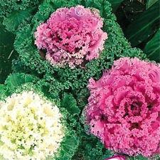 Kales Seed Flower Goddess Mix Color Seeds ~1 Pack 30 Seeds~ Hot Seeds A
