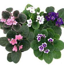"One Novelty African Violet 4"" Clay Pot Blooming Live Plant Indoor Outdoor Garden"