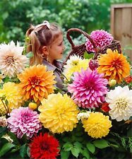 100 pcs Dahlia Seeds Dinner Plate Rainbow Dahlia Seeds Mixed Colour