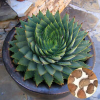 100PCS ALOE POLYPHYLLA SEEDS GARDEN SUCCULENTS OFFICE YARD HORTICULTURE CLASSIC