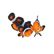 Sustainable Aquatics Super Fancy Designer Clownfish Bonded Pair WYSIWYG