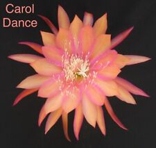 New listing Epiphyllum Orchid Cactus Coral Dance Coral Pink Bloom Rooted Plant