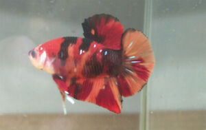 live fish NEMO Tiger betta male Top Quality From ThaiLand