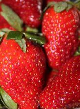 Strawberry *Alpine*  Tasty Fruit x 10 Seeds