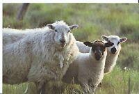 Animal Postcard - Sheep - Speckle Ewe and Twins    AB2317