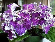 STREPTOCARPUS Cape Primrose SPECIAL DRAGON MIX Houseplant 10 Seeds