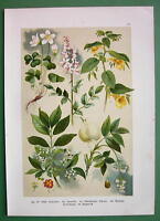 FIELD FLOWERS Sorrel Touch Me Not Spindle - 1890s Color Litho Botanical Print