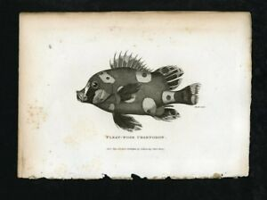 Shaw's General Zoology - Original 19th c.  Engraving - Pleat-Nose Chaetodon