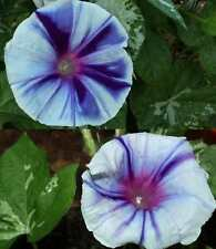 Japanese Morning Glory-WHITE SHIBORI-8 seeds-BEAUTIFUL BLOOMS