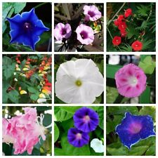 20 Morning glory Flower Seeds Convolvulaceae 10 Kinds Garden Climbing Plants