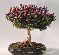 Acer Palmatum Arce CHILI CHILLI MULTICOLOR 30 semillas Bonsai arce japones