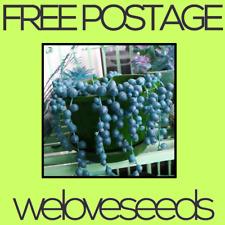 LOCAL AUSSIE STOCK - Blue String Of Pearls, Rowleyanus Senecio, Plant Seeds ~5x