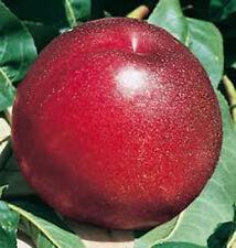 Nektarine 'Rhonegold' - Prunus - winterharte Pflanze 130-160cm im Topf - saftig