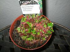 Cephalotus follicularis Zwergkrug fleischfressende Pflanze 2448  53-0521