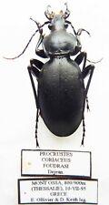 Carabus procrustes coriaceus foudrasi (male A1) from GREECE