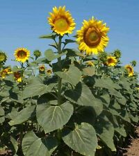 Giant Sunflower Mix - 100 Seeds