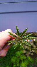 """Rare Pogostemon Herlferi """"RED"""" Downoi RED Live Aquarium Aquatic Plant Plants"""