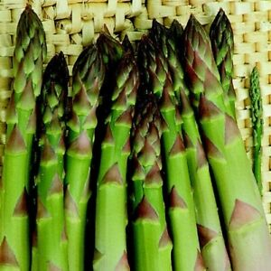 Asparagus plants 'Connovers Collossal in 9cm pots