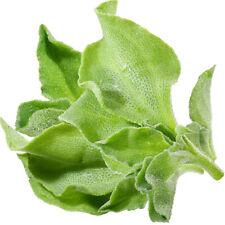 100 pcs ice dish iceplant Mesembryanthemum crystallinum Rare vegetable seeds