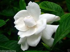Live Gardenia Cape Jasmine Gandhraj Plant - White Shrub Flower Plant - One Plant