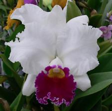 New listing Lc Melody Fair 'Carol' Hcc/Aos orchid plant (172)