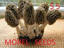 BLACK MOREL Morchella conica mycelium plugs spawn 4 dowels $4.90