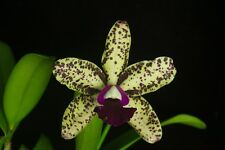 Cattleya Orchid - Blc. Sunspots 'Pauwela' X 'Valley Isle' - Compact Plant