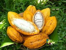 Cacao - Cocoa (Theobroma cacao) Rare Exotic Fruit Tree Plant