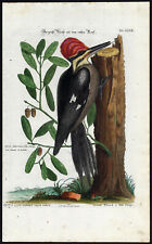 Antique Print-LARGE RED HEADED WOODPECKER-XXXIV-Seligmann-Edwards-1768