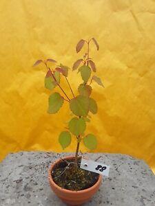 Kuchenbaum,Katsurabaum, Prebonsai ca 22cm