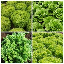 Seeds Salad Lettuce Odesskiy Kucherya May's Queen Snowflake Coral Vegetable