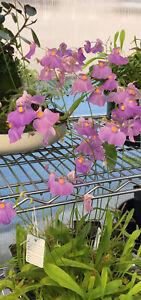 Utricularia Longifolia (1 Bladderwort Carnivorous Plant)