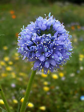 Blaues Sperrkraut 150 Samen Gilia Capitata