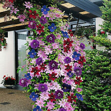 CLEMATIS RAINBOW 4 PLANTS 4 COLOURS MIXED DISPLAY GARDEN FLOWER PLANT IN POT