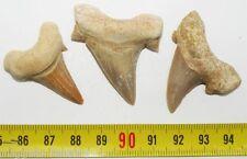 lot de 3 dents Fossiles de requin Lamna Obliqua ( 007 )