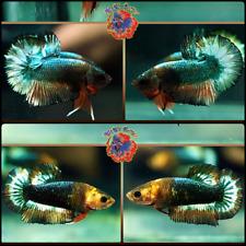 New listing Live Betta Fish Breeding Pair Orange GreenCopper Dragon StarTail Halfmoon Plakat