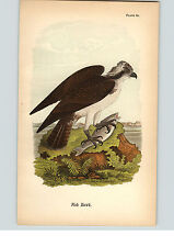 1890 Bird Colored Lithograph Litho Plate Osprey  Fish Hawk