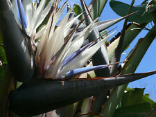 White Bird of Paradise Seeds Tall Evergreen Clumping Plant Drought Tolerant