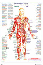 GN0849 HUMAN-BODY Major Anterior Muscles Maxi Poster 61 X 91.5 cm
