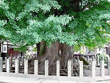 Echter Ginkgo -Ginkgo biloba- 3 frische Samen ***Kann über 1000 Jahre alt werden