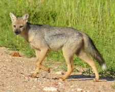 SOUTH AFRICAN JACKAL Glossy 8x10 Photo Print Poster Nature Wildlife Side-Stripe