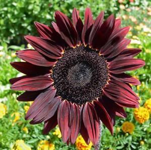 75 Sunflower 'Chocolate Cherry' Flower Seeds Helianthus annuus Comb S/H