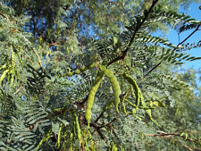 CHILEAN BLACK MESQUITE TREE 50 SEEDS PROSOPIS CHILENSIS BEST BUY