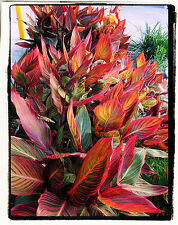 Canna Lily Phasion ( TWO ) Gift idea, bulbs rhizomes tropicalal rare unique