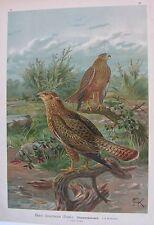 1905 BUTEO Uccelli Naumann desertorum Ornitologia Ornithology poiana