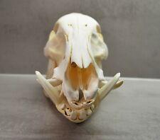 Echter Wildschwein Schädel, Keiler Schädel,Gewaff Tierschädel mit Unterkiefer