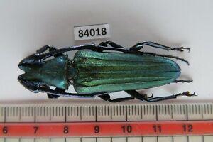 84018*****Cerambycidae sp. Vietnam. Yen Bai****